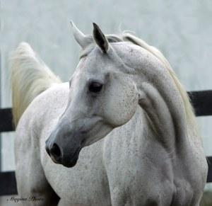 Arabian